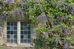 Wisteria och gamla Abbey Window, Mottisfont abbotskloster, Hampshire, England Royaltyfri Bild