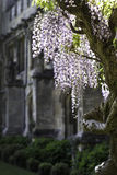 Wisteria and Old Building Stock Image