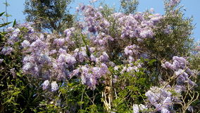 Wisteria on olive trees - Corfu Royalty Free Stock Image