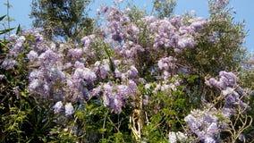 Wisteria på olivträd, Korfu royaltyfri bild