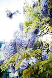 Wisteria palnt στο μπλε πορφυρό χρώμα στην άνθιση Στοκ φωτογραφία με δικαίωμα ελεύθερης χρήσης