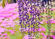 Wisteria pink background. Weeping flowers of wisteria at Japanese garden in Kyoto, Japan Royalty Free Stock Photo