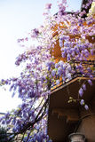 Wisteria plant Stock Images