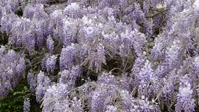 Wisteria plant in bloom. In a garden stock video