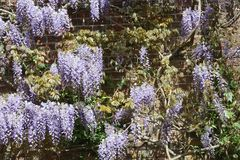 Violet Wisteria growing on sunny brick wall. Wisteria plant climbing over a sunny brick wall, with Purple violet clusters of fragrant flowers Stock Images