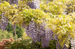 Wisteria plant Royalty Free Stock Photography