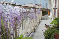 Wisteria Plant in an Old Courtyard With Other Flowers. A beautiful plant of Wisteria floribunda in an old abandoned courtyard on the mountains with other flowers Stock Image