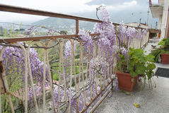 Wisteria Plant in an Old Courtyard With Other Flowers. A beautiful plant of Wisteria floribunda in an old abandoned courtyard on the mountains with other flowers Stock Images