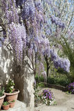 Wisteria Plant in an Old Courtyard With Other Flowers. A beautiful plant of Wisteria floribunda in an old abandoned courtyard on the mountains with other flowers Royalty Free Stock Photography