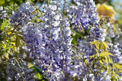 Wisteria plant during spring Stock Images