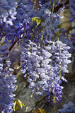 Wisteria plant during spring Stock Photography