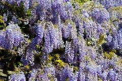Wisteria plant during spring Stock Photos