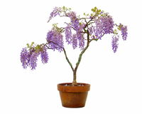 Wisteria in a Pot Royalty Free Stock Photo