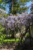 Wisteria with a profusion of blue flowers in springtime. Sunlit wisteria with a profusion of blue flowers in springtime stock photos