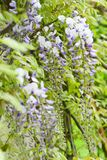 Wisteria purple blossoms. In the park royalty free stock photo