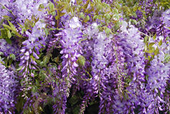 Wisteria purple flowers Royalty Free Stock Image