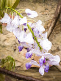 Wisteria in the rain Royalty Free Stock Photo