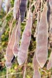 Wisteria ripe seeds. Stock Photo