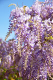 Wisteria row details. Wisteria groups and the blue sky Stock Image