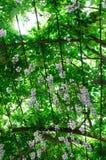 Wisteria sinensis. Plant in blossom Stock Image