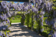 Free Wisteria Sinensis Stock Images - 63959324