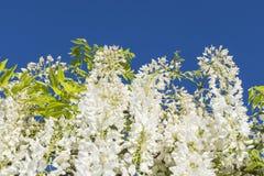 Wisteria sinensis alba white flowers. White flowers of wisteria sinensis alba blue sky background Stock Photography