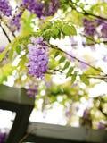 Wisteria sinensis Stock Photo