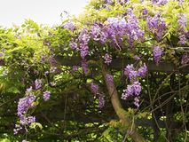 Wisteria sinensis. Beautiful Wisteria sinensis flowers blooming in springtime Stock Photography