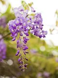 Wisteria sinensis Royalty Free Stock Photos