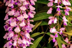 Wisteria sinensis blooms and leaf detail. Wisteria sinensis blooms and leaf close up detail stock photos