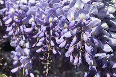 Wisteria sinensis blossom. Close up with violet flowers stock photo