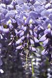 Wisteria sinensis blossom. Close up with violet flowers royalty free stock photos