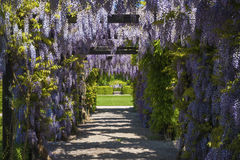 Wisteria sinensis. In the castle garden of the residence castle in Rastatt, Black Forest, Baden-Wurttemberg, Germany, Europe royalty free stock images