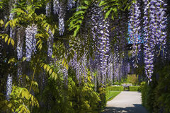 Wisteria sinensis. In the castle garden of the residence castle in Rastatt, Black Forest, Baden-Wurttemberg, Germany, Europe royalty free stock photography