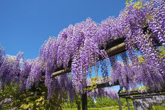 Wisteria sinensis Royalty Free Stock Photography