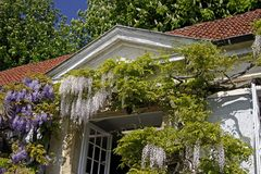 Wisteria sinensis, Chinese Wisteria. Climbing plants on a wall in spring, North-Rhine Westphalia, Germany, Europe Stock Photos