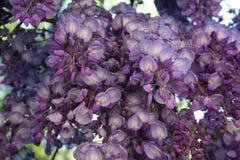 Wisteria sinensis flowering. Blue Wisteria sinensis flowering in blue and purple colors of blauwe regen met een zee van blauw paarse trossen bloeiend in de lente Stock Photography