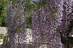 Wisteria sinensis flowering. Blue Wisteria sinensis flowering in blue and purple colors of blauwe regen met een zee van blauw paarse trossen bloeiend in de lente Stock Photos