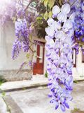 Wisteria Sinensis flowers cascading on branch royalty free stock image