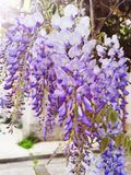 Wisteria Sinensis flowers cascading on branch stock image