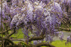 Wisteria sinensis flowers. Close up of  wisteria sinensis flowers Royalty Free Stock Photo
