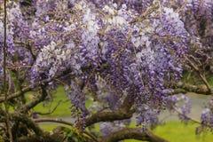 Wisteria sinensis flowers Royalty Free Stock Photo