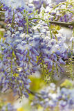 Wisteria sinensis flowers in spring Stock Image