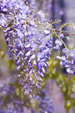Wisteria sinensis flowers in spring Royalty Free Stock Photography