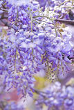 Wisteria sinensis flowers in spring Stock Photography