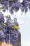 Wisteria sinensis flowers in spring Royalty Free Stock Images