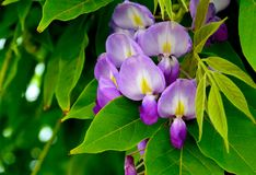 Wisteria sinensis Glycine de Chine flowers in the garden. Is a genus of flowering plants that includes species of woody climbing vines that are native to China royalty free stock image