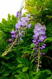 Wisteria sinensis Glycine de Chine flowers in the garden. Is a genus of flowering plants that includes species of woody climbing vines that are native to China royalty free stock photos