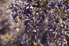 Wisteria sinensis Stock Photos