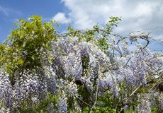 Wisteria sinensis in purple bloom and tangled branches with sunny sky background stock image